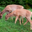 Fawns eating grass — Stock Photo