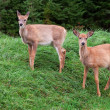 Fawns Looking at the Camera — Stock Photo