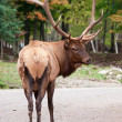 Male Elk Looking Back at the Camera — Stock Photo