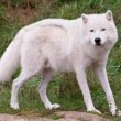 Arctic Wolf Looking at the Camera — Foto de Stock