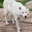 Stock Photo: Arctic Wolf Standing on Rocks