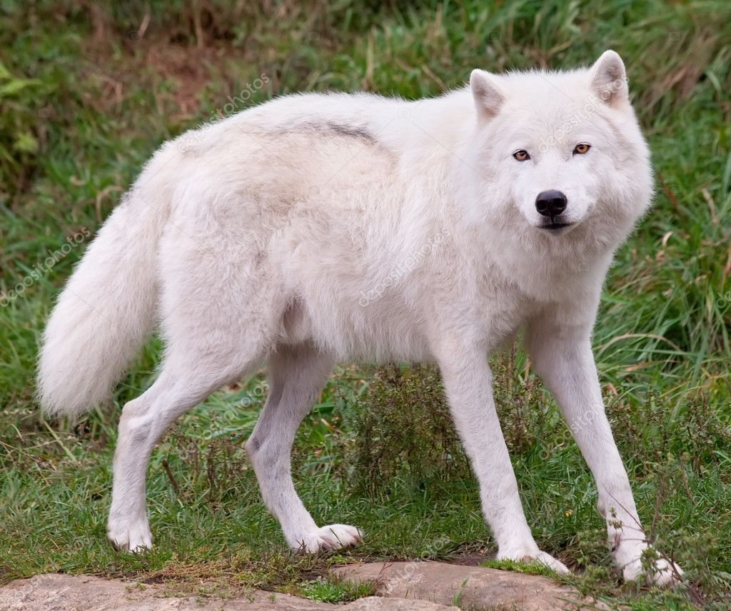 An arctic wolf is looking at the camera. — Stock Photo #7164251