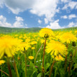 Stock Photo: Summer dandelion field