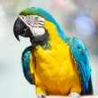 Macaw closeup — Stock Photo