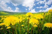 Summer dandelion field — Stock Photo
