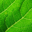 Leaf of cymbling — Stock Photo #6960032