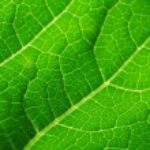 Leaf of cymbling — Stock Photo