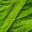 Leaf of cymbling — Stock Photo #6960035