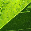 Leaf of cymbling — Stock Photo #6960042