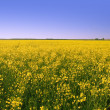 Stock Photo: Rape field