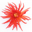 Blooming red dahlia — Foto Stock