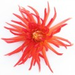 Blooming red dahlia — Stock Photo