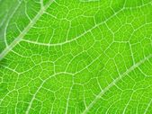 Leaf of cymbling — Stock Photo