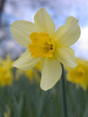 Single blooming narcissus — Stock Photo