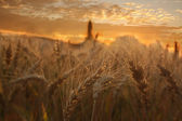 Wheat Sunset — Stock Photo