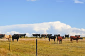 Small portion of steer herd waiting to be shipped — Stock Photo