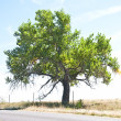 Old cottonwood tree by a rural road — Stock Photo