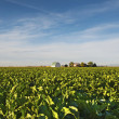 Stock Photo: Sugar Beet Field