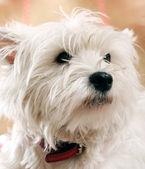 Beyaz köpek — Stok fotoğraf