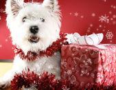 Cachorro branco — Fotografia Stock