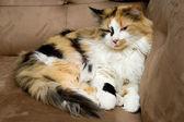 Alaca kedi yarı uykulu — Stok fotoğraf