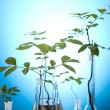 Stock Photo: Plant growing in test tubes in a laboratory