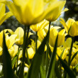 Yellow tulips — Stock Photo #7150529