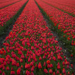 Flowers are blooming on the field, tulips - Stock Photo
