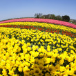 Field of tulips, colorful background - Stock Photo