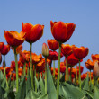 Closeup of flower, tulip - Stock Photo