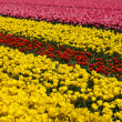 Field of tulips, colorful background — Stock Photo