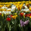 Tulips, colorful background - Stock Photo