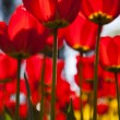 Royalty-Free Stock Photo: Red tulips background