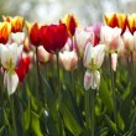 Multi colored tulips — Stock Photo #7153992