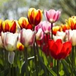 Multi colored tulips — Stock Photo #7154112