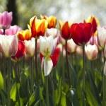 Multi colored tulips — Stock Photo