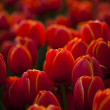 Red tulips background — Stock Photo
