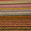 Stock Photo: Flowers are blooming on the field, tulips