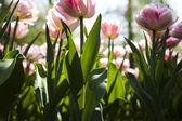 Fresh Beautiful Tulips — Stock Photo
