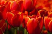 Mixed tulips — Stock Photo