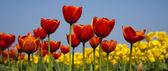 Champ de tulipes, fond coloré — Photo