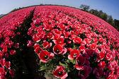 Tulips, colorful background — Stock Photo