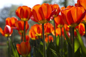 Fresh Beautiful Tulips — Stock Photo