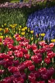 Beautiful spring tulip — Stock Photo