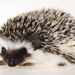 Hedgehog — Stock Photo #7182282