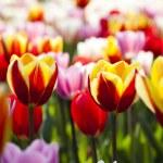 Multi colored tulips — Stock Photo #7202485