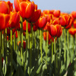 Mixed tulips — Stock Photo