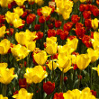 Tulips, colorful background — Stock Photo