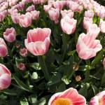 Tulips — Stock Photo #7206000