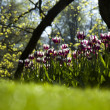 Spring in garden, Tulips — Stock Photo